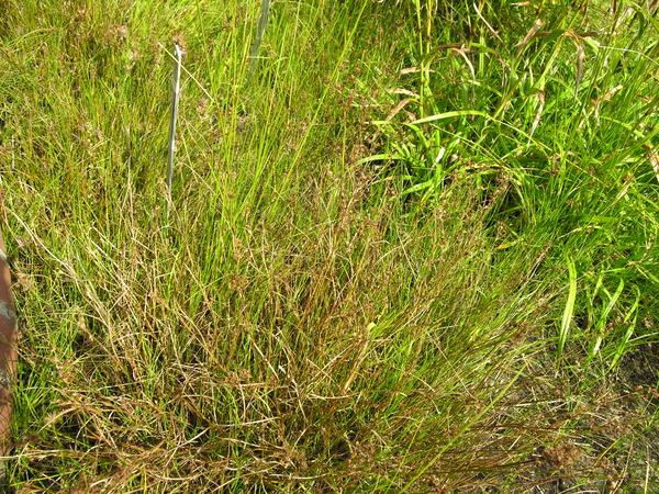 Juncus acutiflorus Ehrh. ex Hoffm.