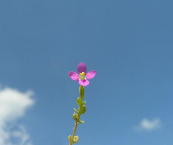 Centaurium pulchellum (Sw.) Druce subsp. pulchellum