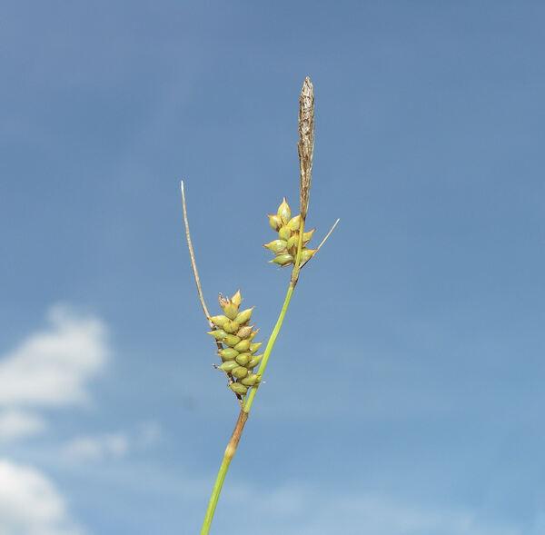 Carex punctata Gaudin