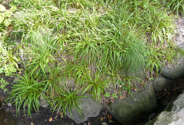 Luzula sylvatica (Huds.) Gaudin subsp. sylvatica