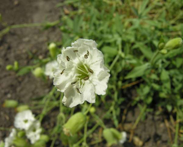 Silene vulgaris (Moench) Garcke subsp. maritima (With.) Á. Löve & D. Löve