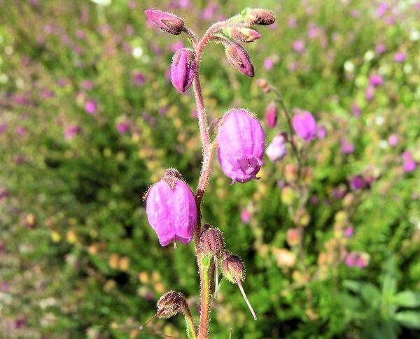 Daboecia cantabrica (Huds.) C. Koch