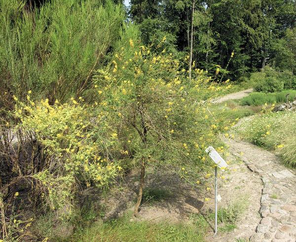 Adenocarpus complicatus (L.) J.Gay
