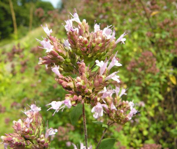 Origanum vulgare L. subsp. virens (Hoffmanns. & Link) Letsw.