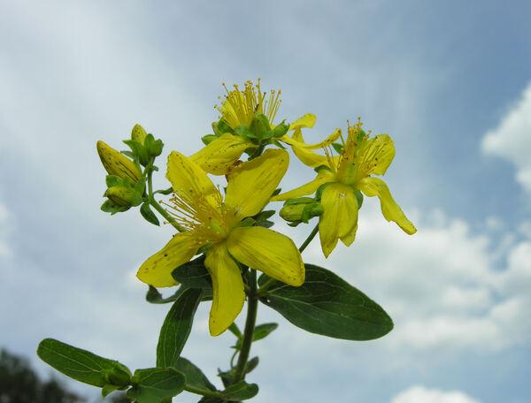 Hypericum maculatum Crantz subsp. obtusiusculum (Tourlet) Hayek