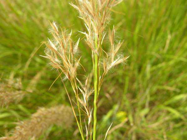 Achnatherum calamagrostis (L.) P.Beauv.
