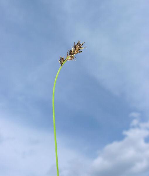 Carex ferruginea Scop.