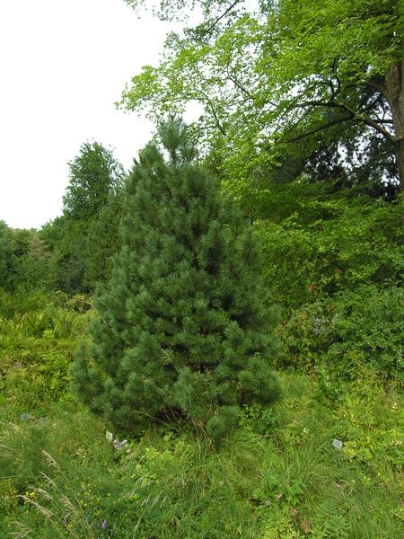 Pinus mugo Turra subsp. uncinata (Ramond ex DC.) Domin