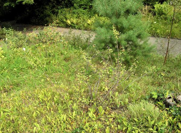 Cotoneaster scandinavicus B.Hylmö