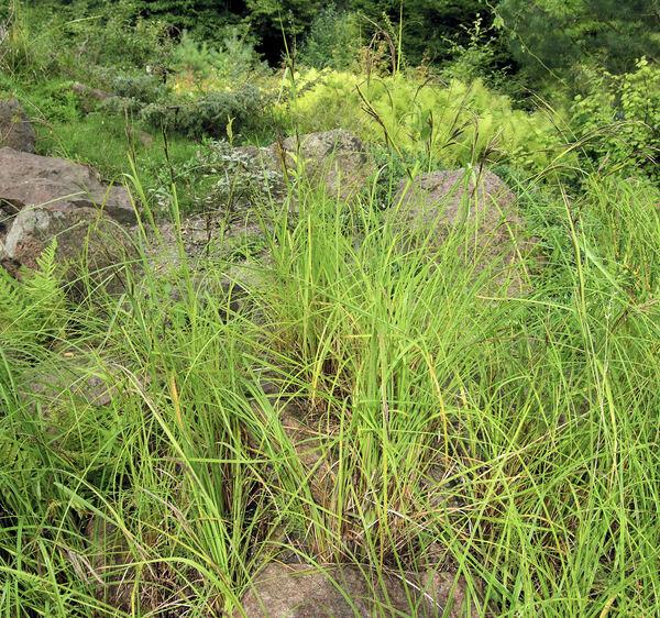 Carex aquatilis Wahl.