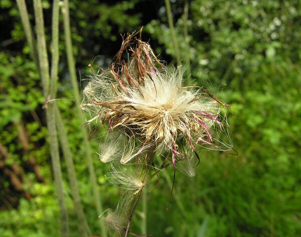 Cirsium canum (L.) All.