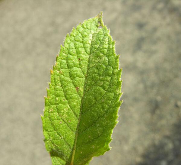 Mentha longifolia (L.) L.