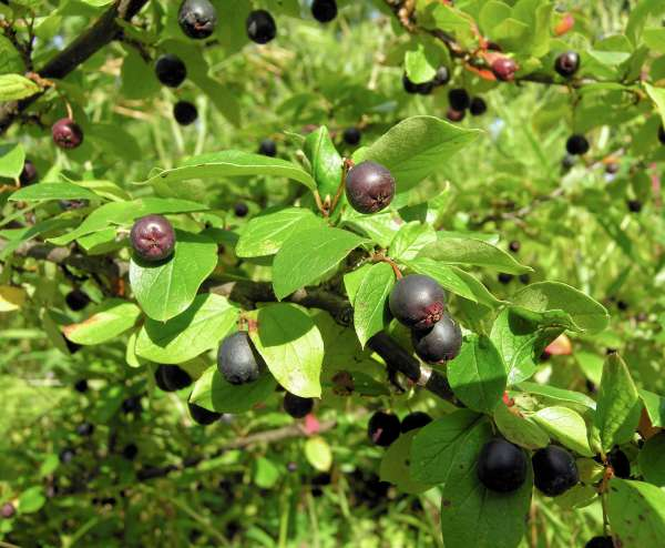 Cotoneaster niger (Thunb.) Fr.