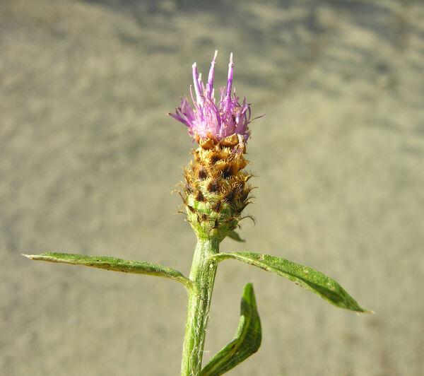 Centaurea x livonica Weinm.