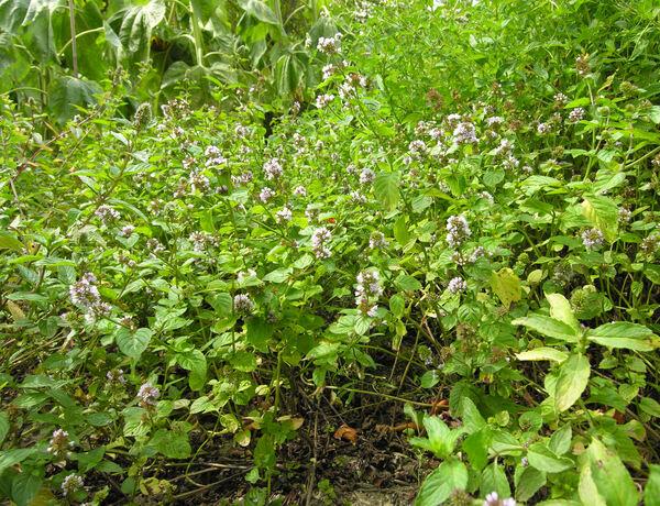 Mentha x piperita L. var. citrata (J.F. Ehrh.) Briq.