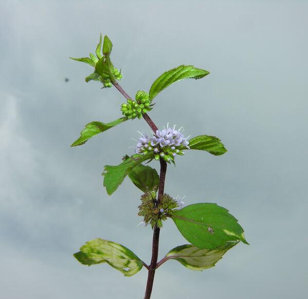 Mentha suaveolens Ehrh. subsp. suaveolens
