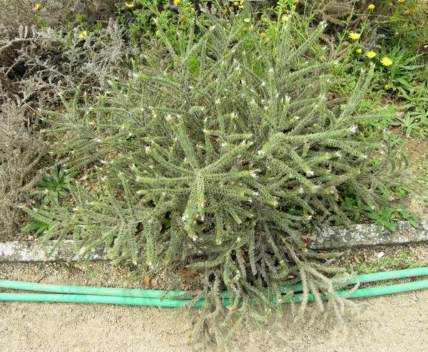 Echium italicum L. subsp. biebersteinii (Lacaita) Greuter & Burdet