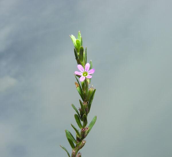 Lythrum hyssopifolia L.