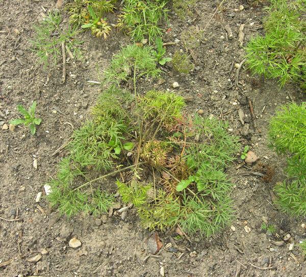 Cenolophium denudatum (Hornem.) Tutin