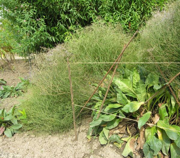Limonium platyphyllum Lincz.