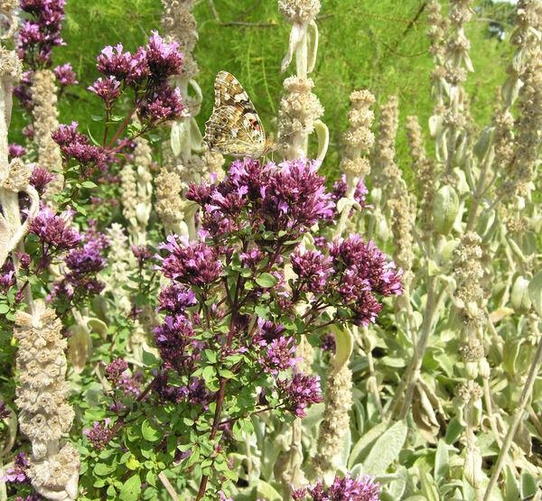 Origanum laevigatum Boiss.