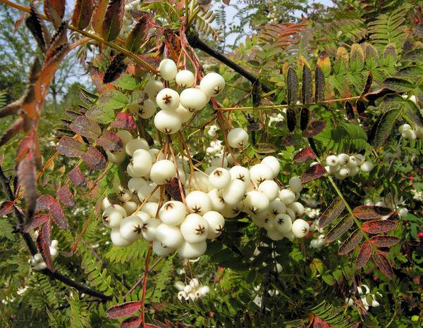 Sorbus fruticosa Crantz
