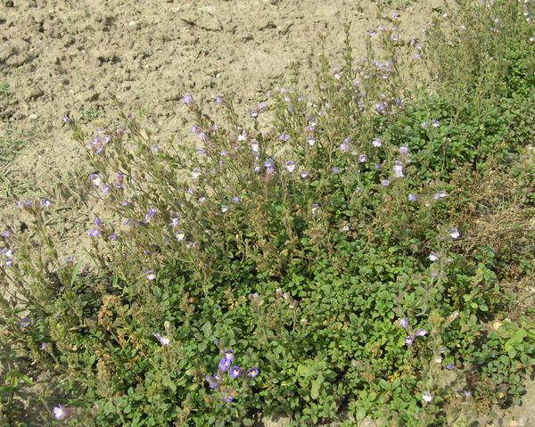Chaenorhinum origanifolium (L.) Kostel. subsp. origanifolium