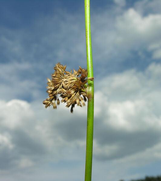 Juncus effusus L. subsp. effusus