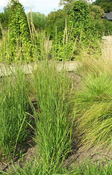 Beckmannia eruciformis (L.) Host subsp. eruciformis