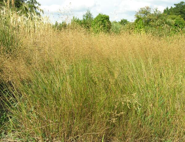 Agrostis capillaris L. subsp. capillaris