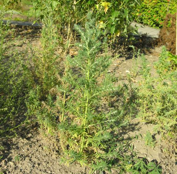 Bassia laniflora (S.G.Gmel.) A.J.Scott