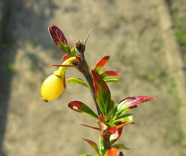 Berberis angulosa Hook. f. & Thoms.