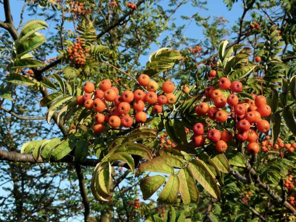 Sorbus commixta Hedl. var. rufoferruginea C. K. Schneid.