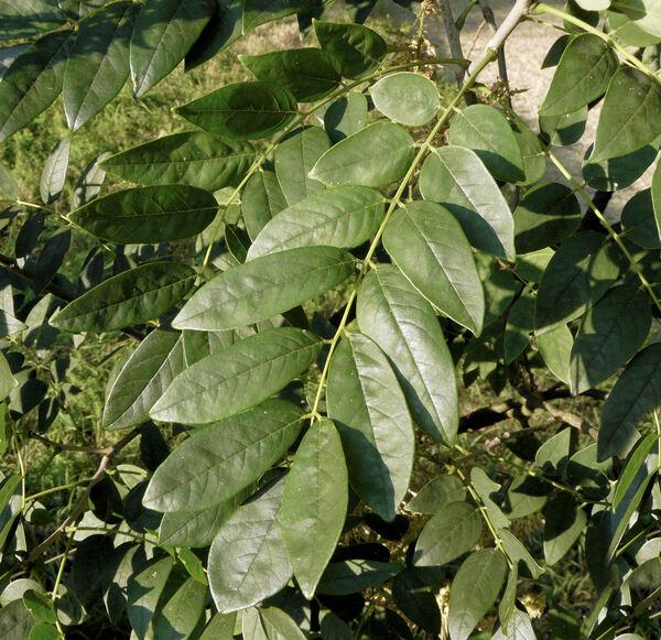 Maackia chinensis Takeda
