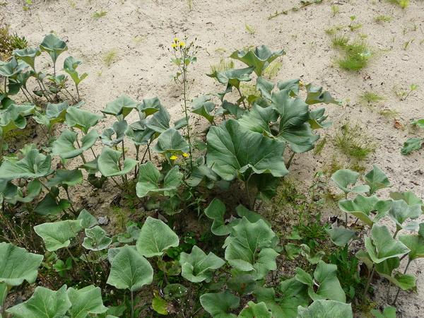 Petasites spurius (Retz.) Rchb.