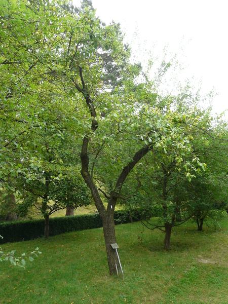 Prunus domestica L. subsp. italica (Borkh.) Gams ex Hegi