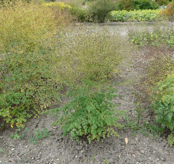 Thalictrum foetidum L. subsp. foetidum