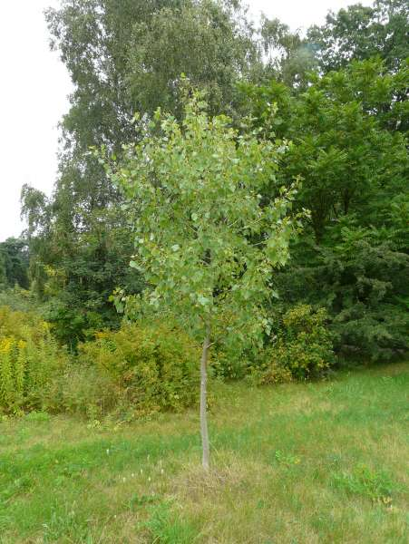 Populus ×canadensis Moench