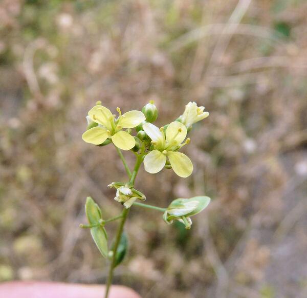 Biscutella didyma L.