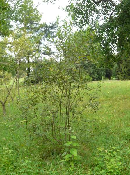 Salix dasyclados Wimm.