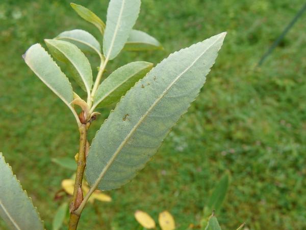 Salix triandra L. subsp. triandra