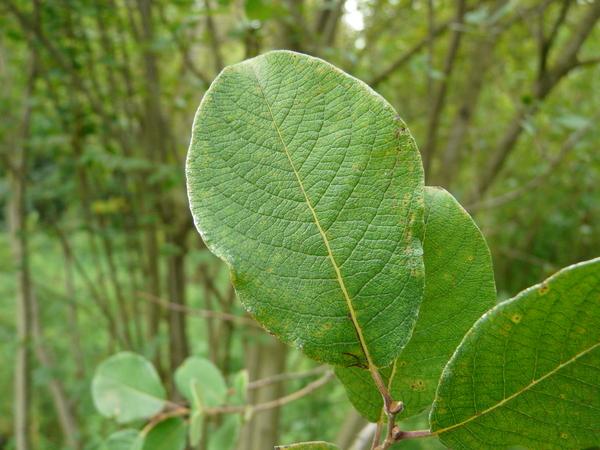 Salix silesiaca Willd.