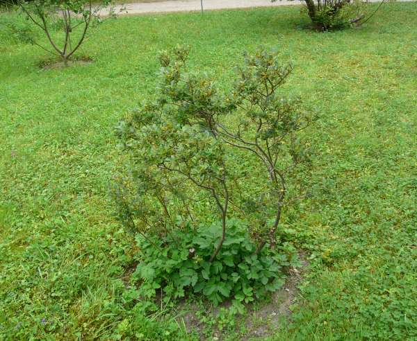 Salix phylicifolia L.