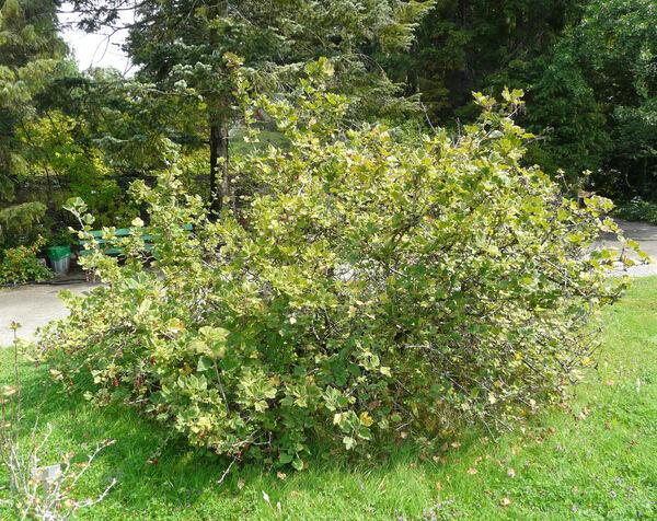 Ribes multiflorum Kit. ex Roem. & Schult. subsp. multiflorum