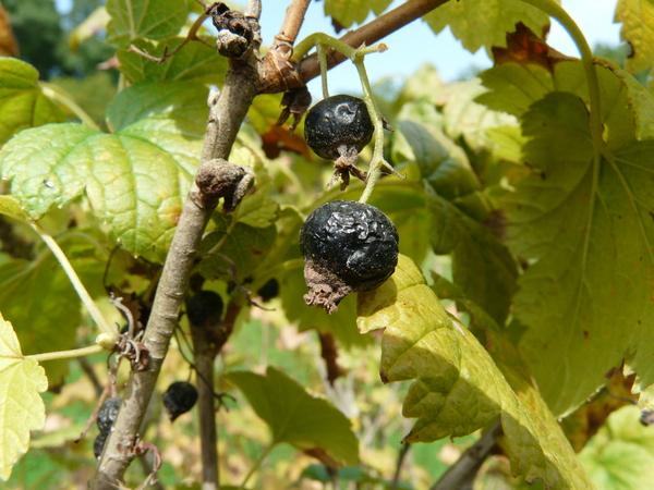 Ribes viscosissimum Pursh