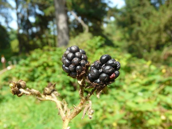 Rubus sanguineus Friv.