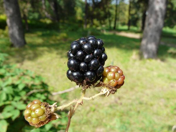 Rubus macrophyllus Weihe & Nees