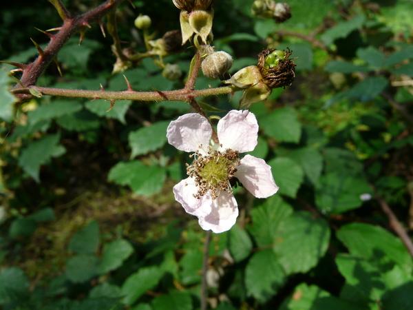 Rubus bifrons Vest