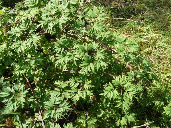 Rubus laciniatus Weston