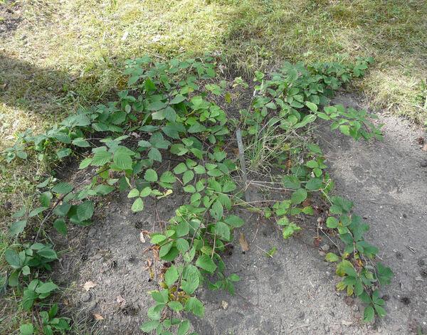 Rubus rudis Weihe